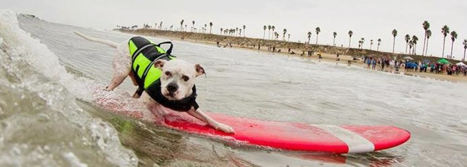 Surfing Dog - Fun - pet care, day care, walkers, walking, grooming, pet sitting, taxi - servicing Boston, Cambridge and Somerville