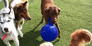 doggie daycare pet sitting dogs socializing - Cambridge, Somerville and Boston