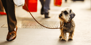 Dog Walking Services, Dog Walkers | Small dog being walked