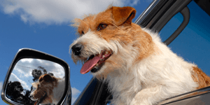 Dog in a car | Pet Taxi Service