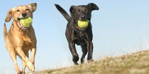 Dogs with tennis balls playing | Daycare Services
